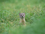 Yellow Mongoose (Cynictis Penicillata) Peeking from Burrow  Okavango Delta  Botswana