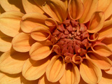 Close Up of a Dahlia Flower