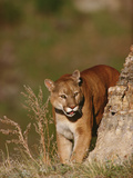 Mountain Lion or Cougar (Felis Concolor) Peering around the Corner of a Rock Edge