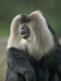 Lion-Tailed Macaque (Macaca Silenus) Male  Endangered Native to India