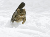 Domestic Cat (Felis Catus) Male Running in Snow  Germany