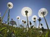 Dandelion (Taraxacum Officinale) Upper Bavaria  Germany