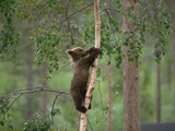 European Brown Bear (Ursus Arctos) Cub Climbing Tree  Germany