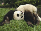 Giant Panda (Ailuropoda Melanoleuca) Rolling in Green Grass  Wolong Nature Reserve  China