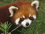 Lesser or Red Panda (Ailurus Fulgens)  Chengdu Panda Research Institute  China