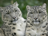 Snow Leopard (Uncia Uncia) Pair Sitting Together  Endangered  Native to Asia and Russia
