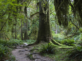 Trail in Forest  Hoh Rainforest  Olympic National Park  Washington