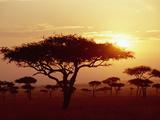 Umbrella Acacia (Acacia Tortills)  Trees at Sunrise on Savannah  Masai Mara  Kenya