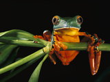 Splendid Leaf Frog (Agalychnis Calcarifer) Climbing on Plant Stem  Ecuador