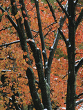 Fall Foliage of Maple Trees after an October Snowstorm