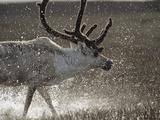Reindeer (Rangifer Tarandus) of Male  Splashing in Water  Taymyr  Siberia