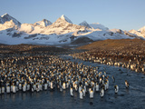 Molting Adult King Penguins on Saint Andrews