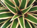 Red Pineapple Bromeliad (Ananas Comosus Varig) Top View  Trinidad  Caribbean