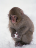 Japanese Macaque or Snow Monkey (Macaca Fuscata) Baby Playing with Snowball  Japan