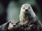 River Otter (Lutra Canadensis) Pair  North America