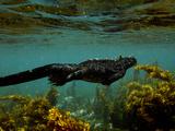 Marine Iguana (Amblyrhynchus Cristatus) Swimming  Fernandina Island  Galapagos Islands