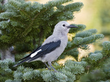 Clark's Nutcracker (Nucifraga Columbiana) in Pine  Mount Rainier National Park  Washington
