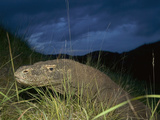 Komodo Dragon (Varanus Komodoensis) at Dusk