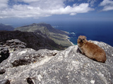 Rock Hyrax (Procavia Capensis) Resting on Rock  Table Mountain  Cape Town  South Africa
