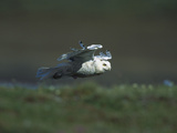 Snowy Owl (Nyctea Scandiaca) in Flight over Tundra  Taymyr  Siberia