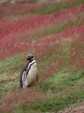 Magellanic Penguin (Spheniscus Magellanicus) Standing Among Flowers  West Falkland Islands