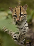 Ocelot (Felis Pardalis) Sitting Among Plants  Amazon Rainforest  Ecuador