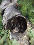Snowshoe Hare (Lepus Americanus) Baby Hiding in Log  Alaska