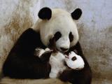 Giant Panda (Ailuropoda Melanoleuca) Caring for Cub  Wolong Nature Reserve  China