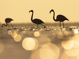 Greater Flamingo (Phoenicopterus Ruber) Trio at Sunrise  Camargue  France