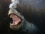 A Leopard Seal Blowing Bubbles in a Behavioral Display