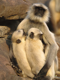 Hanuman or Grey or Common Langur (Semnopithecus Entellus) Mother Nursing Twins