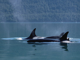 Killer Whale (Orcinus Orca) Pod Surfacing  Inside Passage  Alaska