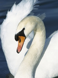 Mute Swan (Cygnus Olor) Close-Up  Europe