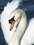 Mute Swan (Cygnus Olor) Close-Up  Europe