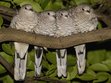 Scaled Dove (Columbina Squammata) Four Huddled Together on Branch  Brazil