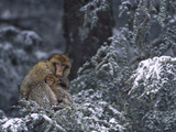 Barbary Macaque (Macaca Sylvanus) Male with Infant in Snow-Covered Tree  Morocco