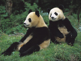 Giant Panda (Ailuropoda Melanoleuca) Endangered  Two Cubs Sitting