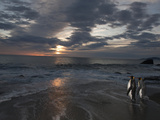 A Pair of King Penguins on a Saint Andrews Beach at Sunrise