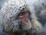 Japanese Macaque or Snow Monkey (Macaca Fuscata) Face  Hot Springs  Japan