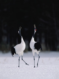 Red-Crowned Crane (Grus Japonensis) Couple in Courtship Display  Hokkaido  Japan