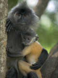 Silvered Leaf Monkey (Trachypithecus Cristatus) Female Holding Young