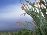 Ocotillo Cactus (Fouquieria Splendens) in Bloom  Anza-Borrego Desert State Park  California