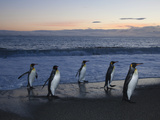 King Penguins Walking from the Surf after Feeding