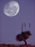 Full Moon over Grass Tree (Xanthorrhoea Preissii) Flinders Range National Park  Australia