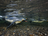 King Penguins Swim in a River&#39;s Shallows