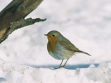 European Robin (Erithacus Rubecula) in Snow  Germany