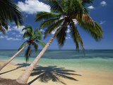 Coconut Palm (Cocos Nucifera) Trees and Beach  Dominican Republic