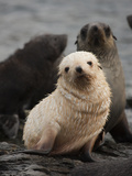 A Blond Fur Seal Pup