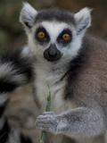A Ring-Tailed Lemur  Lemur Catta  Eating