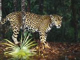 Jaguar (Panthera Onca) Belize Zoo  Belize